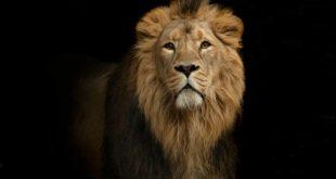 Lwy prawdopodobnie uratowały pastora